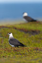 Arctic skua two in the tundra Stock Photography