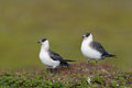 Arctic skua two in the tundra Stock Photos