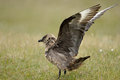 Arctic skua with wings spread Royalty Free Stock Photos