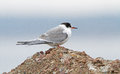 Arctic tern in autumn a winter was far away but this was a sign what we can expect my first observation of the species lithuania Royalty Free Stock Images