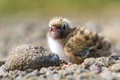 Arctic tern chick an covering by a rock in an colony Royalty Free Stock Photos
