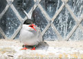 Arctic Tern on the farne islands Royalty Free Stock Photo
