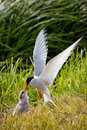 Arctic tern feeding young the or kria as it s called in iceland it s flatey island iceland Stock Photos
