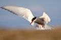 Arctic Tern Royalty Free Stock Photo