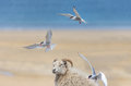 Arctic terns attacking passing sheeo, Western f Royalty Free Stock Photo