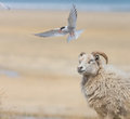 Arctic terns attacking passing sheep, Western f Royalty Free Stock Photo