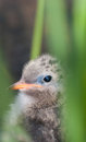 Arctic turn chick an hiding in the grass Royalty Free Stock Image