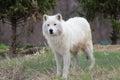 Arctic (white) wolf