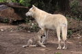 Arctic wolf the adult with her offspring Stock Photography