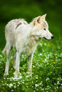 Arctic wolf aka polar wolf or white wolf canis lupus arctos close up portrait of this beautiful predator against lovely green Royalty Free Stock Image