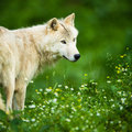 Arctic wolf aka polar wolf or white wolf canis lupus arctos close up portrait of this beautiful predator against lovely green Stock Images