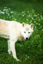 Arctic wolf aka polar wolf or white wolf canis lupus arctos close up portrait of this beautiful predator against lovely green Stock Photography