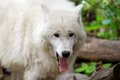 The arctic wolf also called polar or white is a subspecies of gray a mammal of family canidae wolves Stock Image