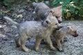 Arctic wolf Canis lupus arctos