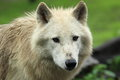 Arctic wolf the detail of adult Royalty Free Stock Photography