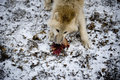 Arctic Wolf Eating Royalty Free Stock Photo