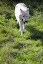 Arctic wolf landscape a beautiful white portrait with text space Stock Images