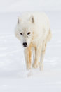 Arctic wolf portrait Royalty Free Stock Photo