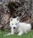 Arctic wolf pup lies in the grass looking at the camera Stock Photos