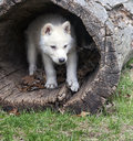 Arctic wolf pup seeks shelter in a hollowed log Stock Photo
