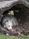 Arctic wolf pup young naps in a hollowed log Stock Image