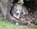 Arctic wolf pup young seeks shelter in a hollowed log Stock Images