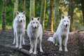 Arctic wolfs three beautiful white looking directly into the camera Stock Photography