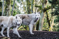 Arctic wolfs two white in the woods Royalty Free Stock Images