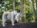 Arctic wolfs two white in the woods Royalty Free Stock Photography