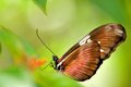 Arcus butterfly florida closeup of an in an aviary in world south Stock Image