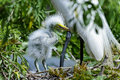 Ardea alba, great egret Royalty Free Stock Photography