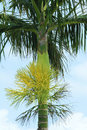 Areca inflorescence the close up of Stock Images