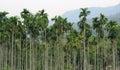 Areca Trees