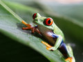 Ared eyed tree frog agalychnis callidryas on a green banana leaf Stock Photos