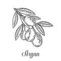 Argan nut oil, fruit, berry, leaf, branch, plant. Hand drawn engraved vector sketch etch illustration. Ingredient for hair and bod