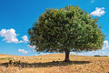 Argan tree in the sun, Morocco Royalty Free Stock Photo