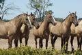 Argentinian Horses, Pampa, Argentina Royalty Free Stock Photos