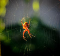 Argiope aurantia garden spider in web Stock Photos