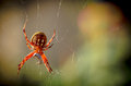 Argiope aurantia garden spider in web eating prey Stock Photo