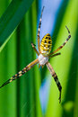 Argiope female Royalty Free Stock Images