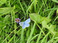 Argus blue celestial or blue adonis is a small butterfly Royalty Free Stock Photo