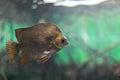 Argus Fish Royalty Free Stock Image
