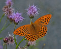 Argynnis Paphia, Silver-washed...