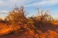 Arid desert bush Royalty Free Stock Photo