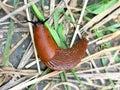 Arion lusitanicus -  red Spanish slug invasion in gardens in Europe. Royalty Free Stock Photo
