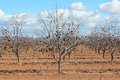 Arizona Agriculture Trees Royalty Free Stock Photos