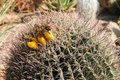 Arizona Barrel Cactus Royalty Free Stock Photo