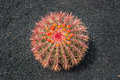 Arizona barrel cactus Ferocactus wislizeni with orange flowers, black lava soil backgroun