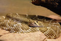 Arizona Black Rattlesnake - Crotalus Royalty Free Stock Photography