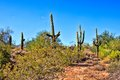 Arizona desert saguaro cacti in the near phoenix usa Stock Photo